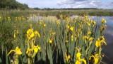 Iris en fleur - Saint Lyphard